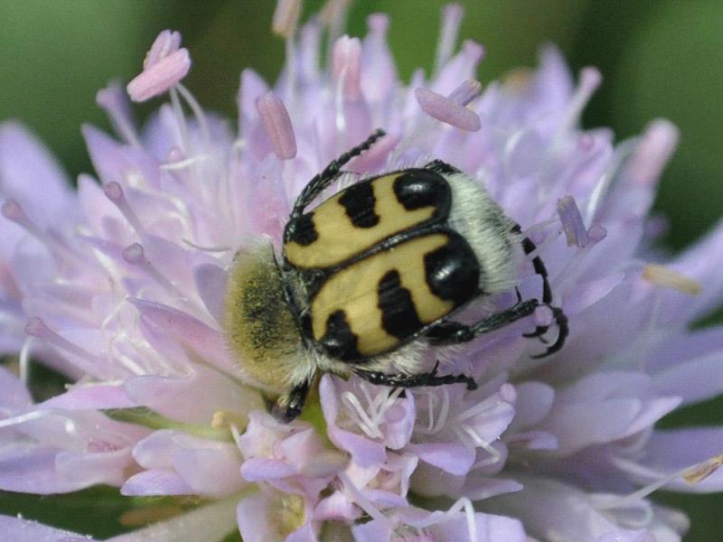 coleoptere8