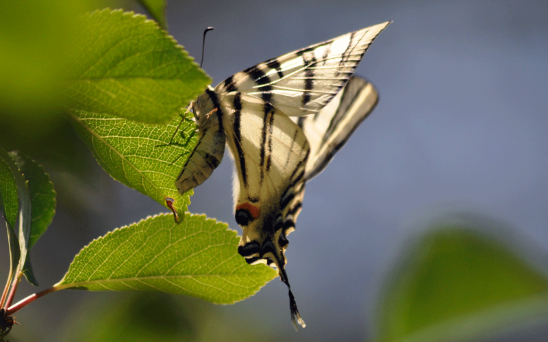 Lepidopteres1