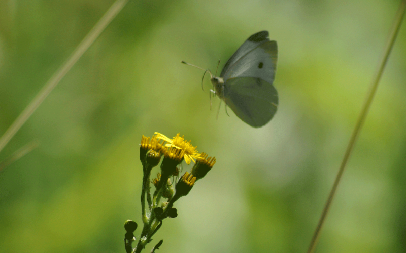 Lepidopteres2