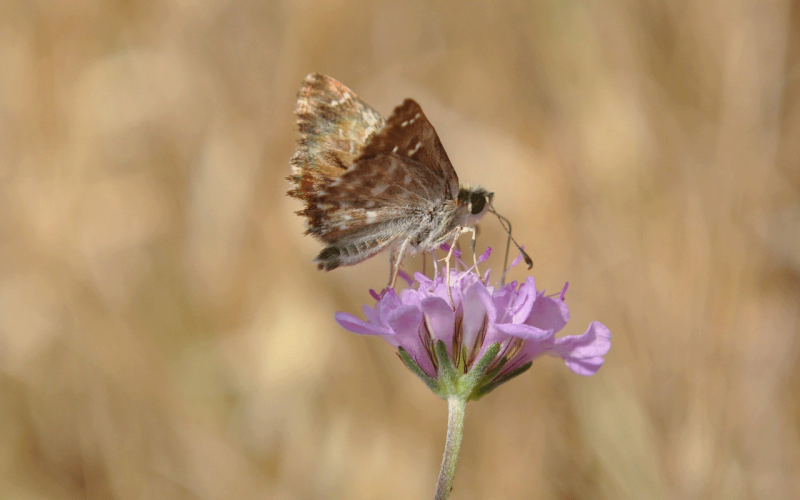 Lepidopteres3
