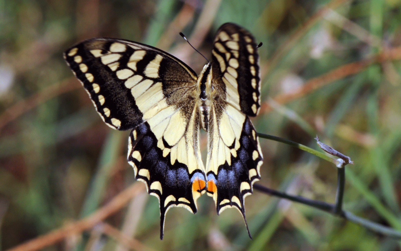 Lepidopteres4