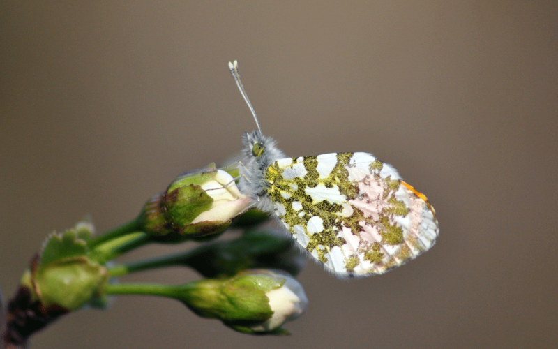 Lepidopteres5