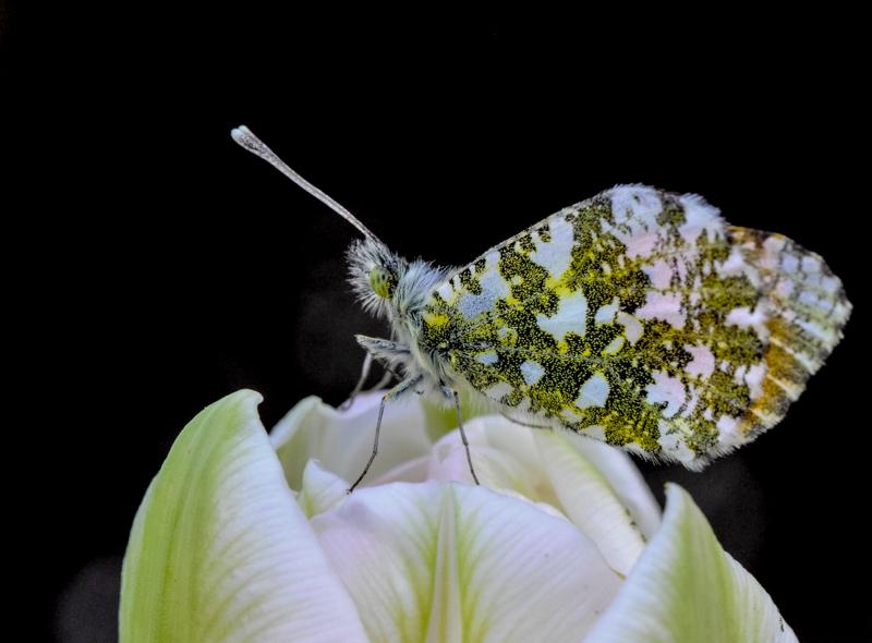 papillon20